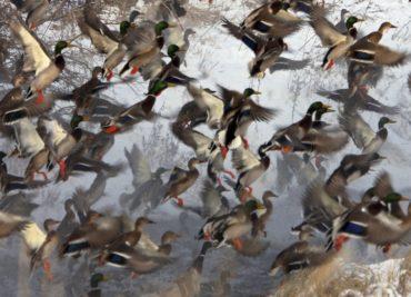 Duck-Hunting Black River WMA